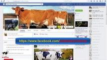 Laitier Agriculture dans inde traite des vaches et buffles par traite