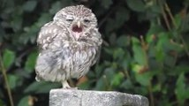 Baby Owl Yawning Is The Most Adorable Thing Ever