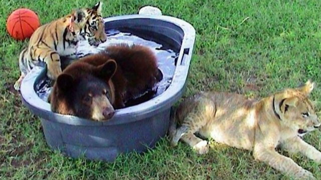 ✓ Rescued Bear Lion And Tiger 15 Years Together | Bear Lion And Tiger Together 15 Years