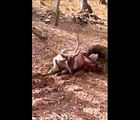 Animals being eaten alive _ Komodo dragons Eat Screaming Animals Compilation