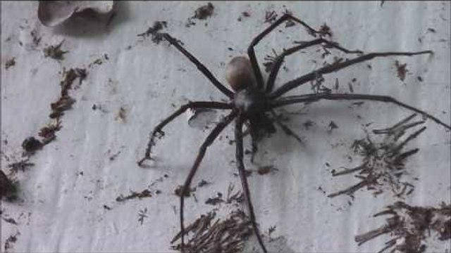 Huge Spider Terrifies Tough Farmer