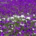 Chili: un parterre de fleur recouvre le désert le plus aride du monde