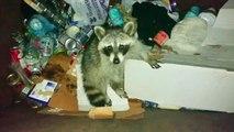 Un homme vient en aide à un raton laveur coincé dans une poubelle !