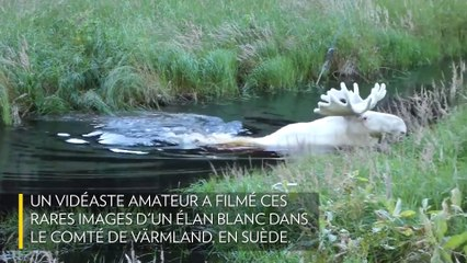 Un élan blanc filmé en Suède