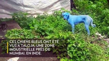 Les chiens bleus de Mumbai
