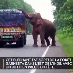 Un éléphant bloque la circulation pour manger des pommes de terre