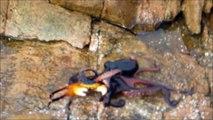Un poulpe s'en prend à un crabe et c'est impressionnant. Quelle vitesse!