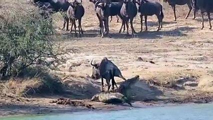 Hipopótamos salvan a un ñu del ataque de un cocodrilo
