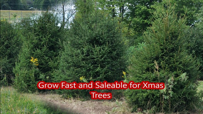 Deer Resistant  Trees      Picea Abies...Norway Spruce Trees     great for Pa landscapes