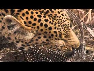 Stock Footage For Sale - AFRICAN WILDLIFE