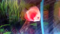Red melon discus fish
