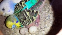 Budgies Parrots setup overall progress eggs chicks budgies pet in Urdu/Hind.