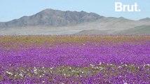"""Quand le désert d'Atacama devient le """"désert fleuri"""""""