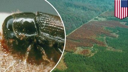 ด้วงสนภาคใต้ขยายาอาณาเขต ป่าสนอาจถูกทำลายยับเยิน