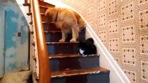 Chiens peur de chats drôle animaux domestiques