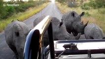 Ces rhinocéros bloquent des touristes au Parc Kruger... Fais moins le malin hein !