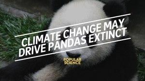 Climate Change Could Drive Pandas Extinct