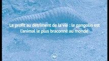 Le profit au détriment de la vie : le pangolin est l'animal le plus braconné au monde