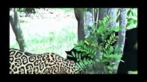 The Best Attacks Of Wild Animals 2017 Real Fight of Leopard and Human, Animals