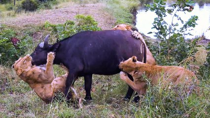 Buffalo Mourn Dead Female After Lion Attack | SNAPPED IN THE WILD