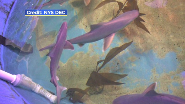 Multiple sharks found swimming in basement pool at New York home