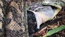Le repas d'un python... Impressionnant