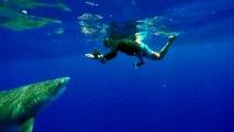 Ce requin tigre n'a qu'une envie : se faire caresser par ce plongeur!