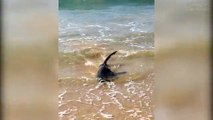 Live Shark washes up on Sydney Manly Beach