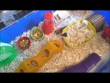 Buying Cute Dwarf Hamsters with my Sister! + their cage set-up!