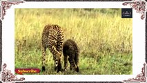 Leopard vs Impala :Mother Impala Cleverly Save Her Child from Leopard