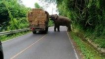 Cet éléphant interrompt la circulation pour voler des ballots de foin dans un camion !
