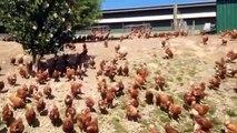 Chaque matin ces milliers de poules font la même chose... Course pour aller à la piscine