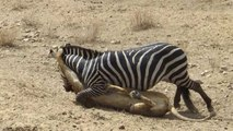 Lions Dangerous Attack on Zebra - Lions fighting to death