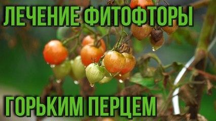 Лечение фитофторы горьким перцем Как избавиться от фитофторы на томатах Дачные советы