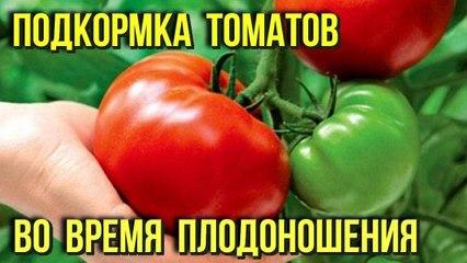 Чем лучше подкормить помидоры во время плодоношения чтобы увеличить урожай Дачнику на заметку
