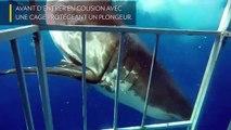 [Insolite] Un requin blanc rentre en collision avec une cage comportant un plongeur