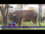 Sapi-sapi Sumbangan Presiden Jokowi di Beberapa Daerah NET 24