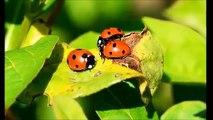 What Do Ladybugs Eat: Fs About Ladybugs