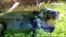 Green Iguanas Documentary Hotel Iguana