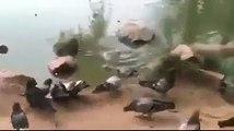 Ce pigeon trop curieux se fait dévorer par un tortue