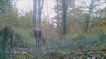 Cerfs et biches de la forêt de Chaux 2° partie