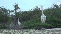 Deux espèces de girafes blanches très rares découvertes au Kenya