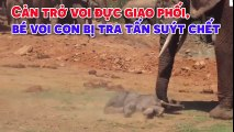 Cản trở voi đực giao phối, bé voi con bị tra tấn suýt chết