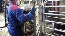 Intelligent Technology Smart Modern Farming USA Amazing Techniques Cow Breeding Super Char