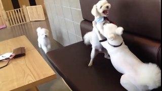 Cười đau bụng với chú chó làm trưởng