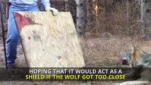 Čovjek je pronašao usamljenog vuka u šumi – pogledao mu je šapu a zatim je napravio odluku koja mu je spasila život