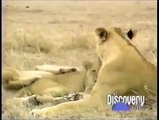 Crater Lions Of Ngorongoro African Animals [Nature/Wildlife Documentary]