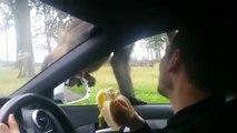 Deux singes font le spectacle sur le capot d'une voiture