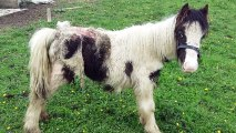 Abandoned Pony Is Being Eaten Alive By Maggots, Then Stranger Makes Lifesaving Call To Rescuers - Relay Hero