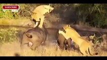 Best Animals Attacks On Lion Buffalo vs Lion vs zebra Animal attack. Nature & Wildlife com